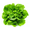 Boston Butter Lettuce